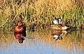 Cinnamon Teal on Seedskadee National Wildlife Refuge (26195433024).jpg