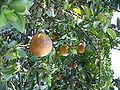 Citrus aurantium chinotto2.jpg