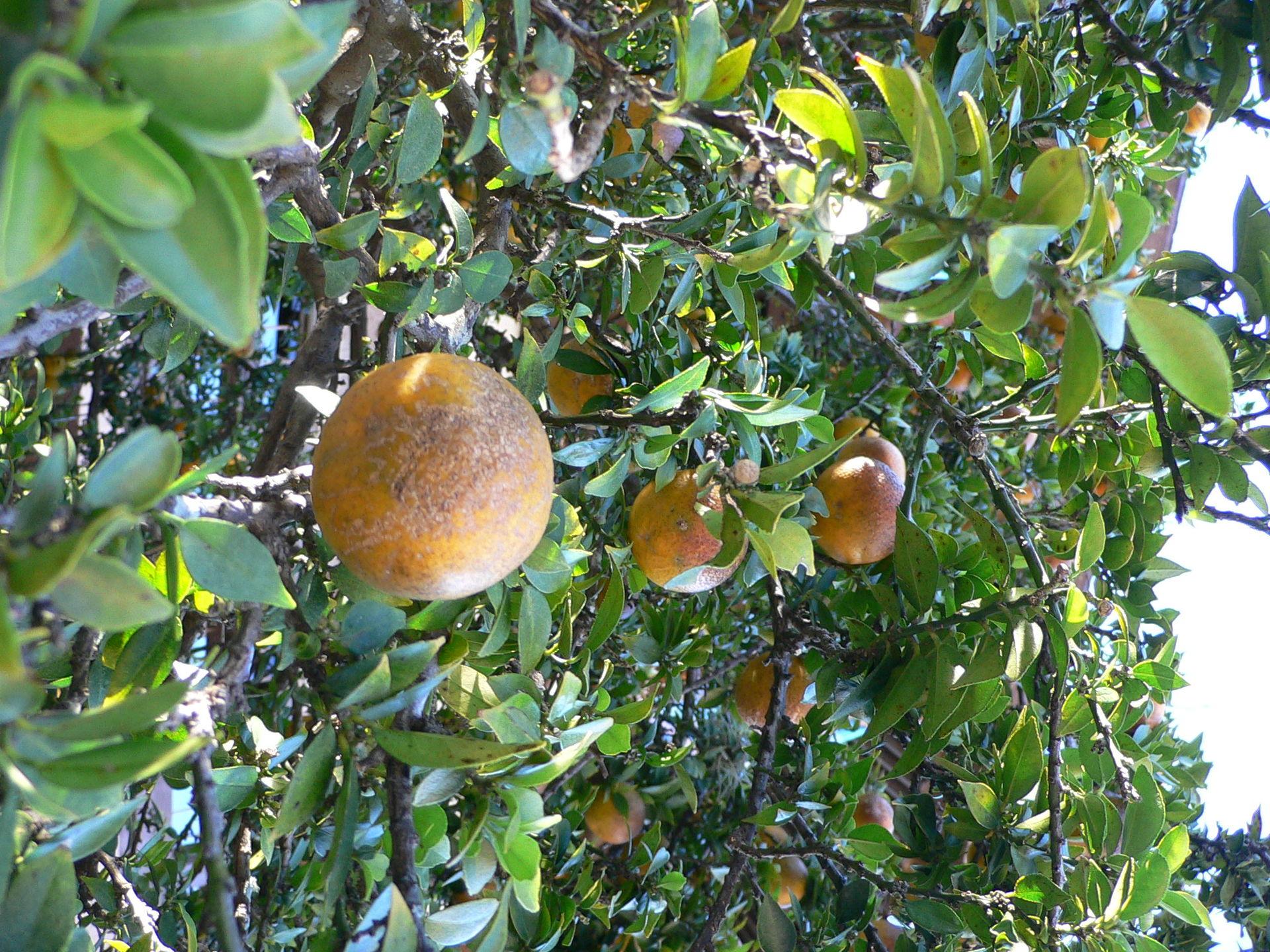 Chinotto soft drink wikipedia for Citrus myrtifolia