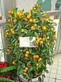 Citrus x microcarpa - Hong Kong Park Conservatory - IMG 9814.JPG