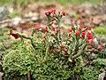 Cladonia cristatella (British Soldier).JPG