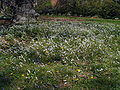 Claytonia virginica lawn patch.jpg