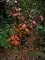 Clethra delavayi - Flickr - peganum (1).jpg