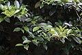 Cleyera japonica, Hangzhou Botanical Garden 2018.06.03 16-09-55.jpg