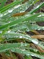 Close-up of water droplets on gras - Spring - 18 (2011). (27821530666).jpg