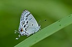 Close wing position of Hypolycaena kina Hewitson, 1869 – Blue Tit WLB DSC 1348.jpg