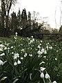 Closeup of Loddon Lilies by the Loddon (Leucojum aestivum L.).jpg