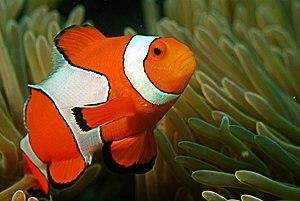 Amphiprioninae - Ocellaris clownfish, Amphiprion ocellaris