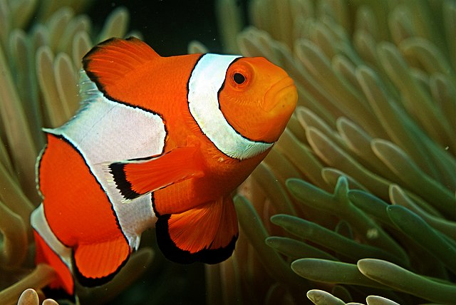 Kid facts fun daily facts for kids clownfish for What do clown fish eat