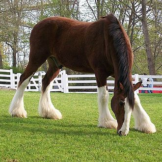 Bay (horse) - This horse is bay despite the fact that its black legs are masked by tall white markings