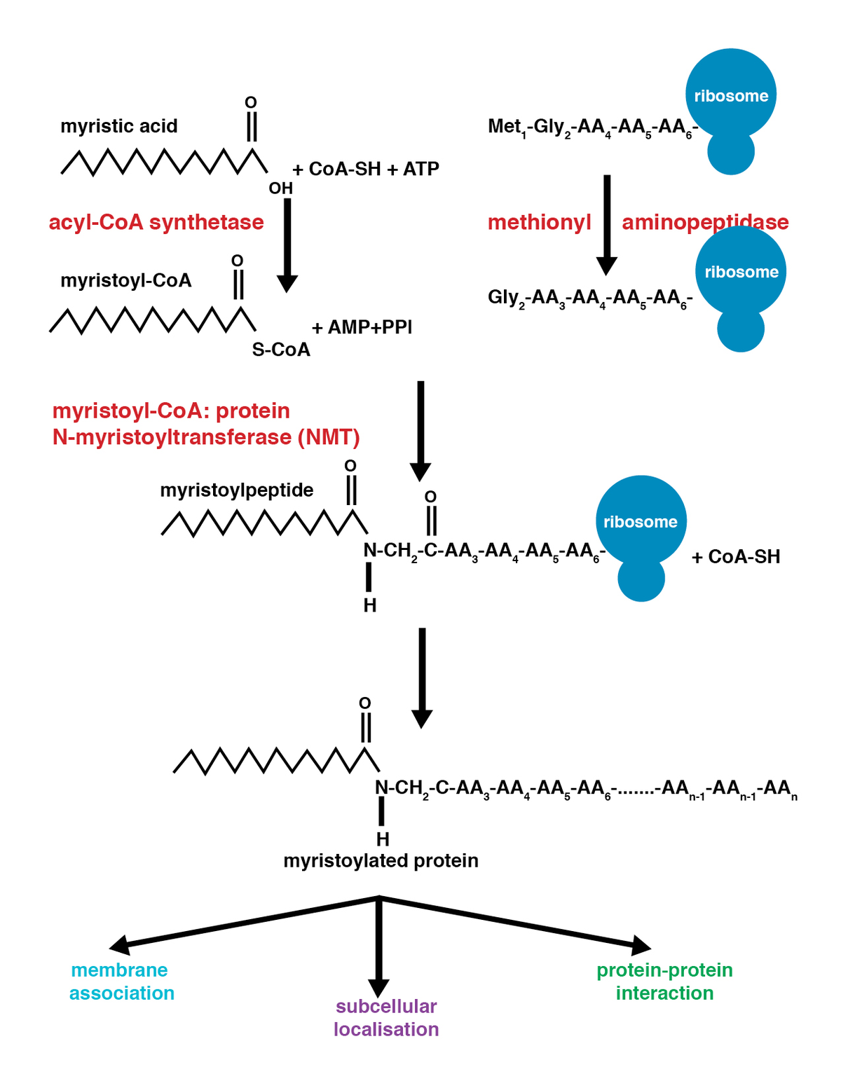 Myristoylation Wikipedia