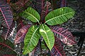 Codiaeum variegatum 14zz.jpg