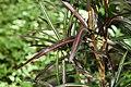 Codiaeum variegatum 46zz.jpg