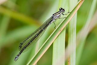 Šidielko obyčajné (lat. Coenagrion puella) - samička