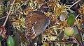 Coenonympha hero - Scarce heath - Сенница боровая (48127213716).jpg