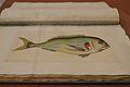 Colección de los peces y demás producciones maritimas de España (...), Juan Bautista Bru, museu de Belles Arts, València.jpg