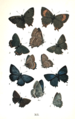 Colemans British Butterflies Plate XII.png