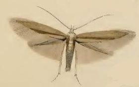 Coleophora siccifolia.JPG