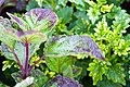 Coleus Mt. Washington 0zz.jpg