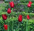 Cologne Germany Flora-Köln-Tulipa-02.jpg