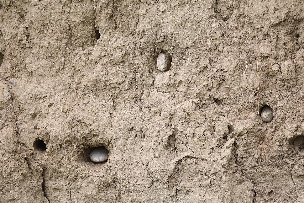 Colonie de prigorii (Merops apiaster) vandalizată de apicultori