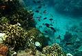 Colorful underwater world, Mabini Batangas - panoramio (4).jpg
