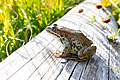 Columbia spotted frog on a log (fb28b871-a9ee-4882-bce7-f2d891b337a7).jpg