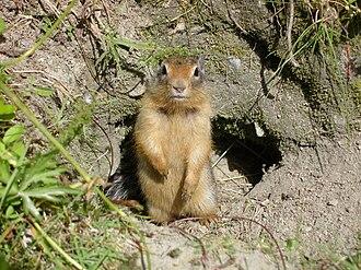 Hibernaculum (zoology) - Columbian ground squirrel outside its burrow hibernaculum