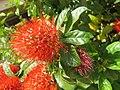 Combretum constrictum - Powderpuff Combretum 2014 (19).jpg