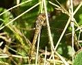 Common Darter, female. Sympetrum striolatum (37144573765).jpg