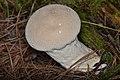 Common Puffball (Lycoperdon perlatum) - La Pêche, Québec 2016-09-20 (01).jpg