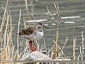 Common Redshank (Tringa totanus) (31675161622).jpg