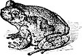 Common Tree Toad-TSF 0045.jpg