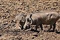 Common Warthogs (Phacochoerus africanus) (32271743933).jpg