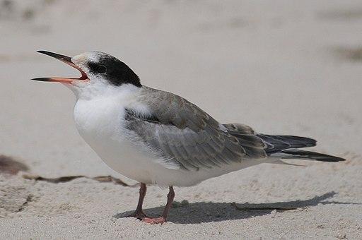 Common tern immature