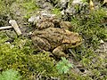 Common toad (Bufo bufo) - geograph.org.uk - 1208006.jpg