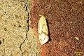 Common yellow conch (BG) (9997051774).jpg