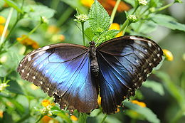 ComputerHotline - Morpho sp. (by).jpg