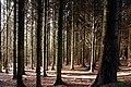 Conifers, Drumkeeragh forest (1) - geograph.org.uk - 1581554.jpg