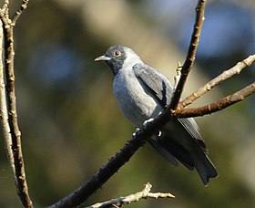 Conioptilon mcilhennyi - Black-faced cotinga.jpg