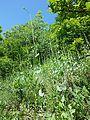 Conringia austriaca sl12.jpg