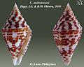 Conus andremenezi2.jpg