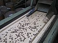 Converyer belt with sugar pine seeds (18592623096).jpg