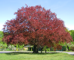 Copper beech at Huttenplatz (Cottbus).png