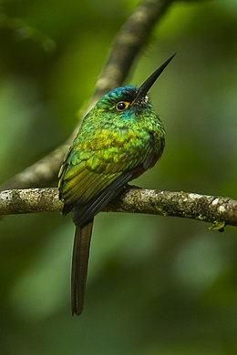 Coppery-chested Jacamar - Ecuador S4E0608.jpg