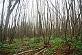 Coppiced trees, Trenleypark Wood - geograph.org.uk - 1618801.jpg