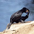 Cormorant Feeding Young (9228375466).jpg