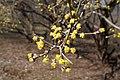 Cornus mas (Cornelian-Cherry) (32397617613).jpg