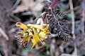 Corydalis pallida var. tenuis 07.jpg