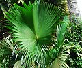 Corypha umbraculifera talipot flle.jpg